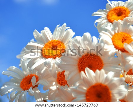 A bouquet of white daisies on a background of blue sky - stock photo