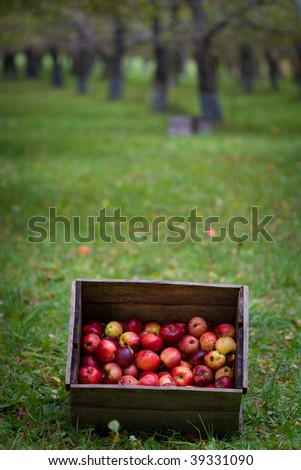 A box of freshly picked organic apples - stock photo