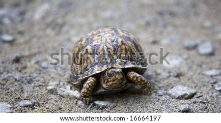 A box turtle crossing a gravel road.