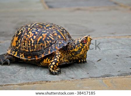 A box turtle walking on gray stone ground takes a look around - stock photo