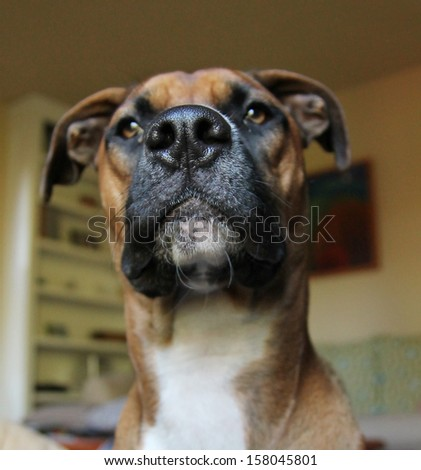 a boxer close up focus on the nose