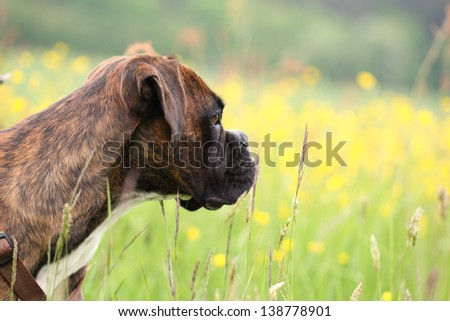 a boxer dog is waiting