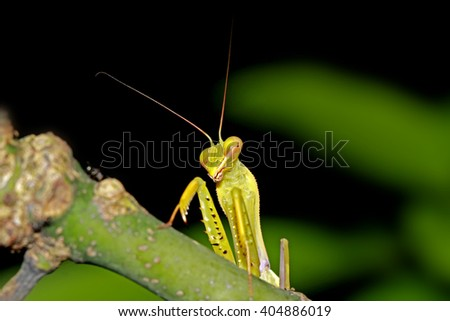 A boxing grasshopper on branch