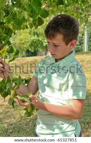 A boy holding a branch of a tree and sees the seeds of linden - stock photo