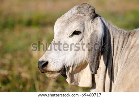 a brahman bull - stock photo