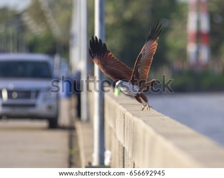 A brahminy kite eagle - a  bird of prey - takes off from the wall of a pier at Laem Sok in Trat, eastern Thailand