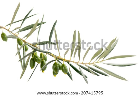 A branch and drops of olive oil falling from some green olives  isolated on white - stock photo