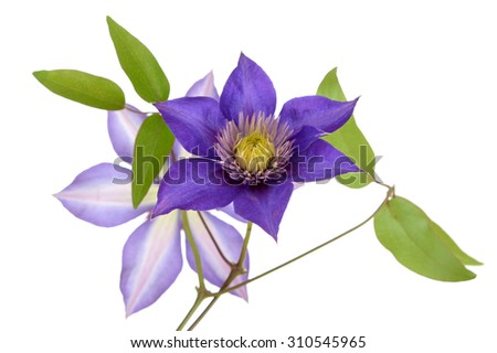 a branch beautiful purple clematis isolated on white - stock photo