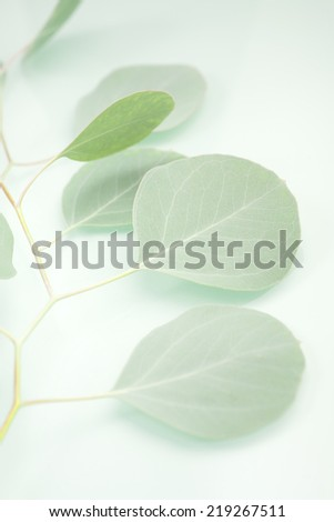 A branch from an Eucalyptus (Eucalyptus polyanthemos) Silver Dollar Tree aka Gum Tree. Shallow depth of field and waxy greenish blue leaves on green background.  - stock photo