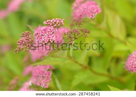 A branch of a summer blooming bush with a delicate pink inflorescence, close up - stock photo
