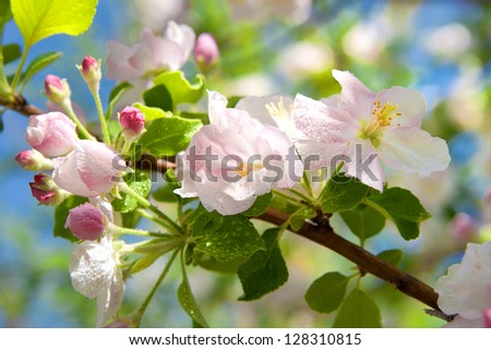 a branch of apple blossoms - stock photo
