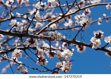A branch of apricot during the spring bloom close-up - stock photo