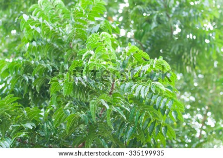 A branch of Azadirachta indica, neem tree showing compound leaves - stock photo