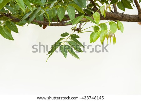 A branch of Azadirachta indica, neem tree showing compound leaves. - stock photo