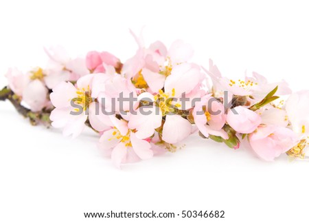 A branch of flowering almonds. Isolated on white background. - stock photo