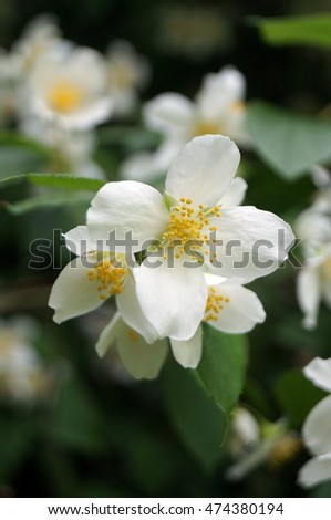 Branch jasmine on bush white flowers stock photo royalty free a branch of jasmine on a bush with white flowers and yellow stamens in green leaves mightylinksfo