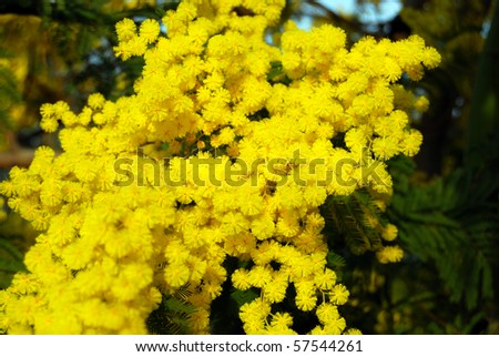 A branch of Mimosa for Women Day - stock photo