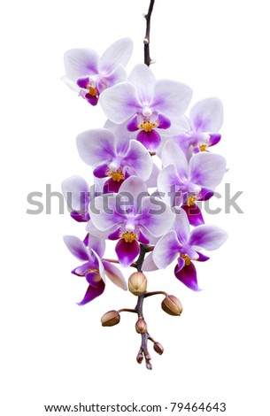 a branch of phalaenopsis orchid heavily laden with flower blooms and isolated on white