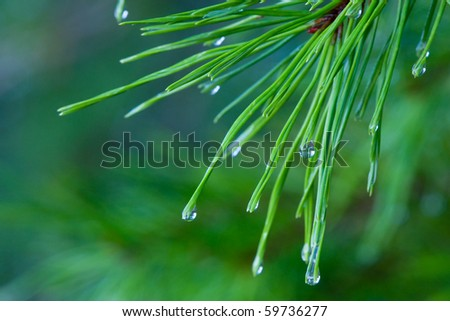 A branch of pine scrub needles with water droplets