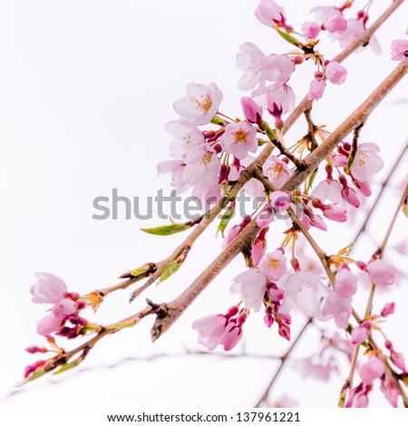 a branch of pink blooming cherry blossoms (sakura) - stock photo
