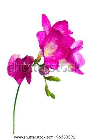 A branch of pink freesia with flowers, buds, and water drops - stock photo