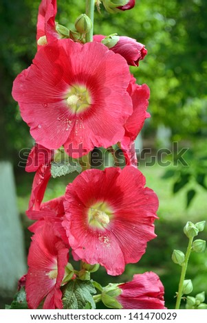 a branch of pink mallow flower in blossom - stock photo