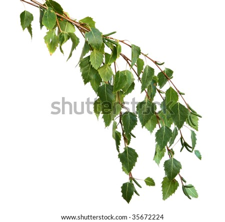 A branch of silver birch leaves, isolated on white.  Fresh spring growth. - stock photo