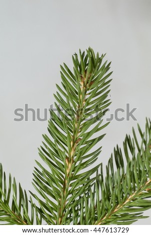 a branch of spruce, pine tree, needles, pine on a light background - stock photo