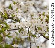 A branch of sweet cherry (Prunus avium) with flowers - stock photo