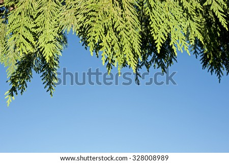 A branch of Western red cedar - stock photo