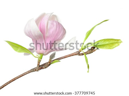 a branch pink Susan magnolia flower isolated on white background
