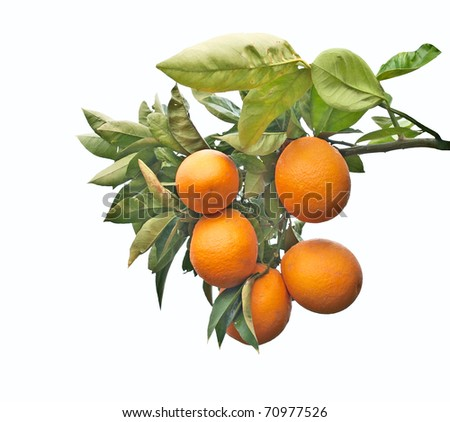 A branch with ripe oranges - stock photo