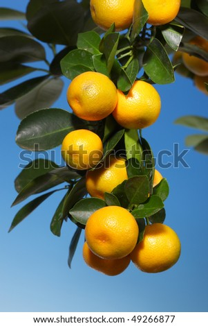 A branch with tangerines on a tree over a blue sky