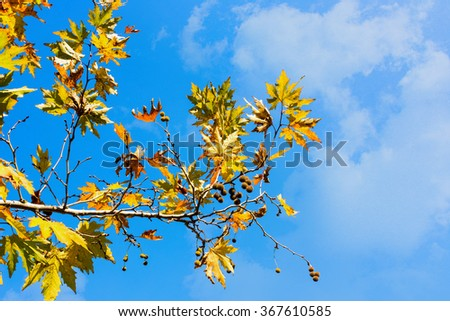 A branchs of autumn leaves against the dark blue skyCorrecting the white balance - stock photo