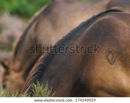 A brand on the shoulder of a wild pony.