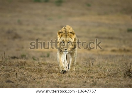 A brave young lion stalks towards the photographer - stock photo