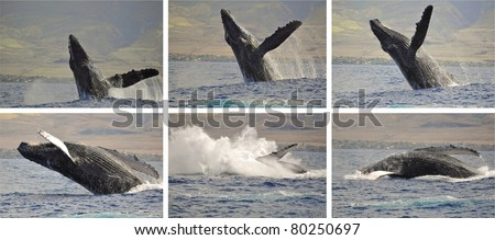 A Breaching Humpback Whale off the coast of Maui, Hawaii. - stock photo