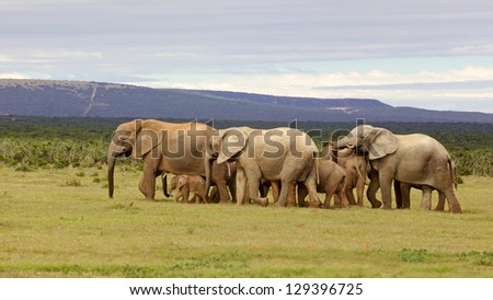 A breeding elephant herd in the Addo Elephant National Park, South Africa. - stock photo