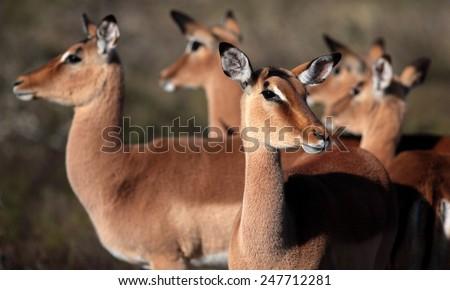 A breeding herd of impala antelope. Taken in South Africa - stock photo