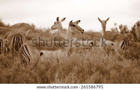 A breeding herd of impala females. Sepia tone. - stock photo