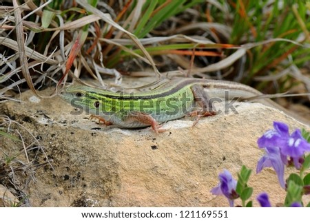 A bright green lizard on a rock in the prairie - the fast Prairie Racerunner whiptail, Aspidoscelis or Cnemidophorus sexlineata viridis, similar to the italian wall lizard - stock photo