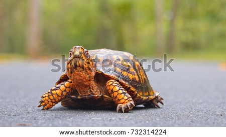 A bright orange colored Terrapene carolina carolina (common to the Carolinas) sub species of the Eastern Box Turtle crossing a wet path in South Carolina with a blood filled mosquito on it's cheek.