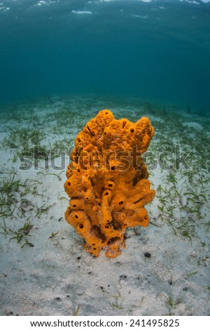 A bright orange sponge grows in the sand near a seagrass meadow in Indonesia. Thousands of species of filter-feeding sponges exist in the Indo-Pacific. - stock photo