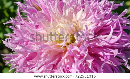 A bright red flower dahlia closeup, flora background