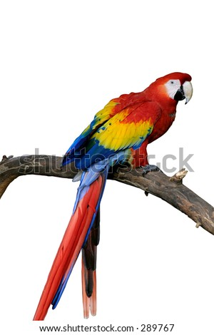 A bright red macaw parrot isolated, sitting on a branch. - stock photo