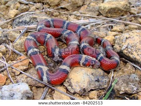 A bright Red Milk Snake, Lampropeltis triangulum syspila - stock photo