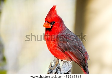 A bright red northern cardinal perched on a tree - stock photo
