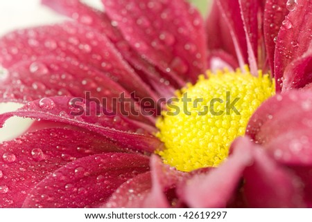 a bright red/pink gerber daisy covered in dew drops