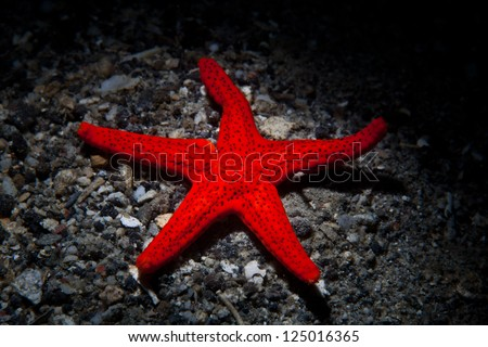 A bright red sea star (Fromia sp.) crawls across a sandy bottom near a reef in Indonesia.  This species is spread across the Indo-Pacific region. - stock photo