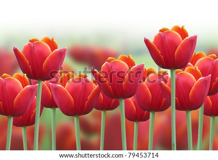 A bright red tulip flower background with a fade to white on the top for text. Use it for a spring or love concept. - stock photo